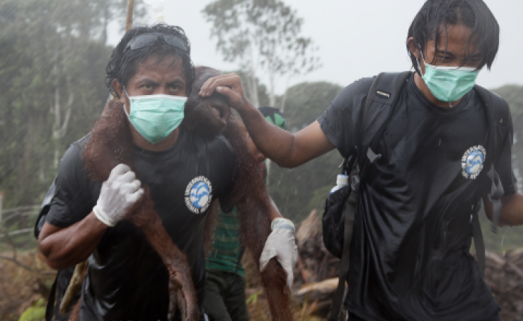 An orang utan is rescued following deforestation for palm oil.