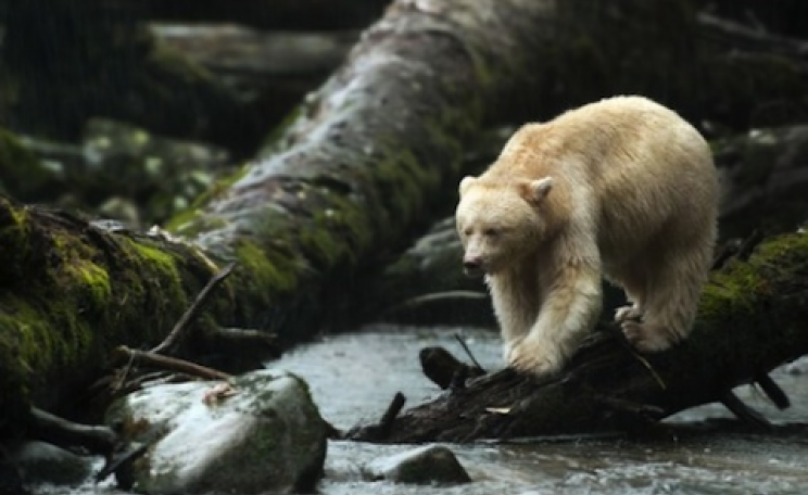 A rare 'ghost bear' in the BC temperate rainforest.