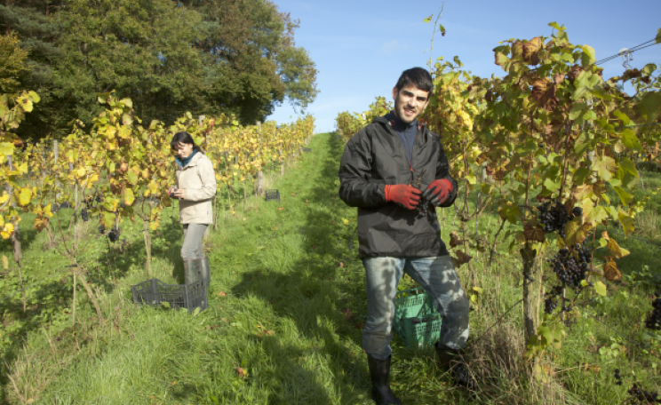 Pruning vines at Sedlescombe