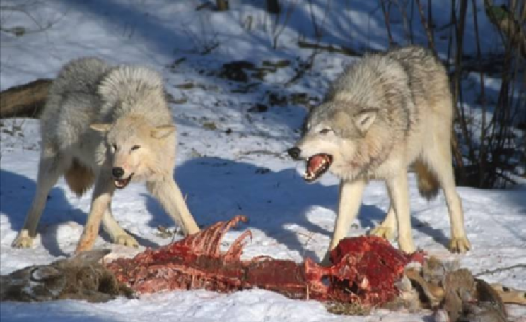 The Kill - two wolves chowing down on what used to be a deer. Photo: Patrick Bell via Flickr.com.