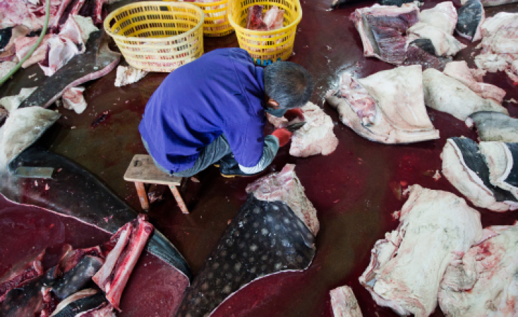 Whale shark butcher at work. Photo: Wildlife Risk.