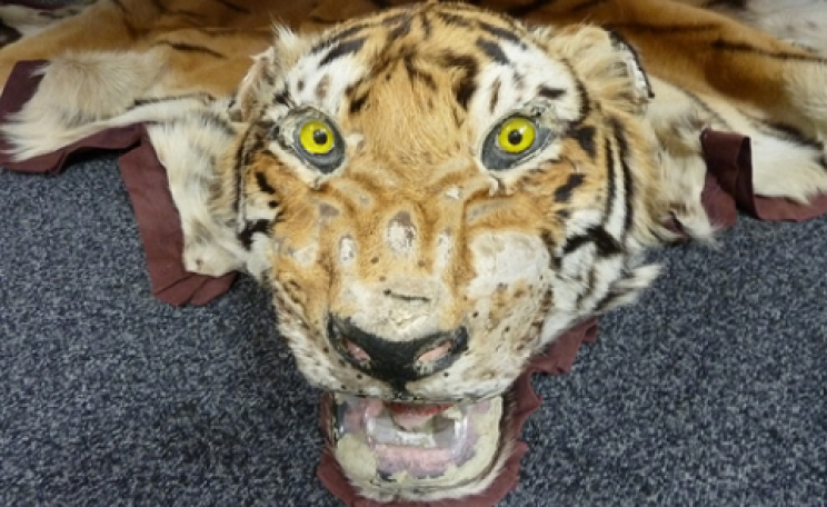 This tiger skin was seized by Border Force, which made more than 675 wildlife crime seizures last year. Photo: UK Home Office via Flickr.com.