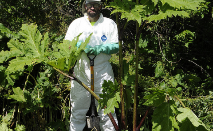 Eradicating giant hogweed, an invasive plant whose sap inflicts painful blisters on skin contact. It grows vigorously - but that does not make it good. Photo: NYS DEC via Flickr.com.