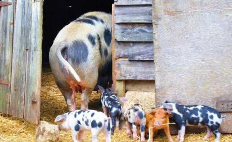Organic farming as it used to be ... sow with piglets at Sandy Lane Farm, Oxfordshire. Photo: Sandy Lane Farm.