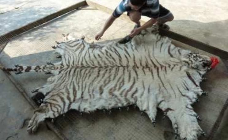 Tiger skin being processed at Xia Feng. Photo: © EIA.