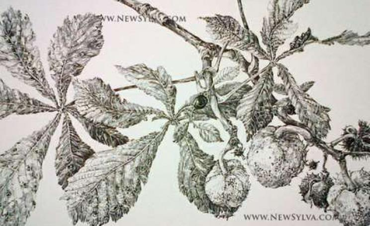 Horse chestnut leaves and fruits in autumn. A drawing for The New Sylva by Sarah Simblet.