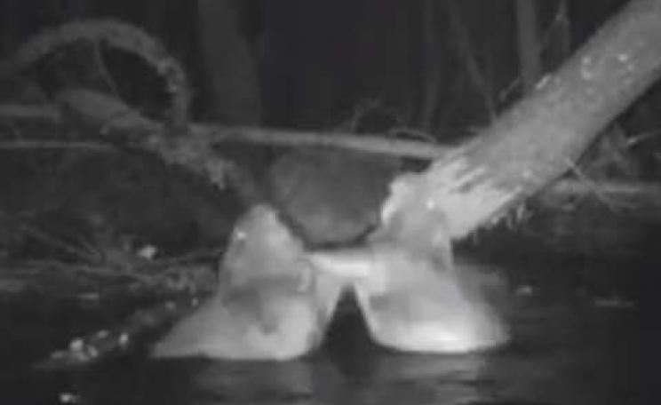 Wild beavers caught on film in the River Otter, Devon, by Tom Buckley. Photo via BBC News and Youtube.