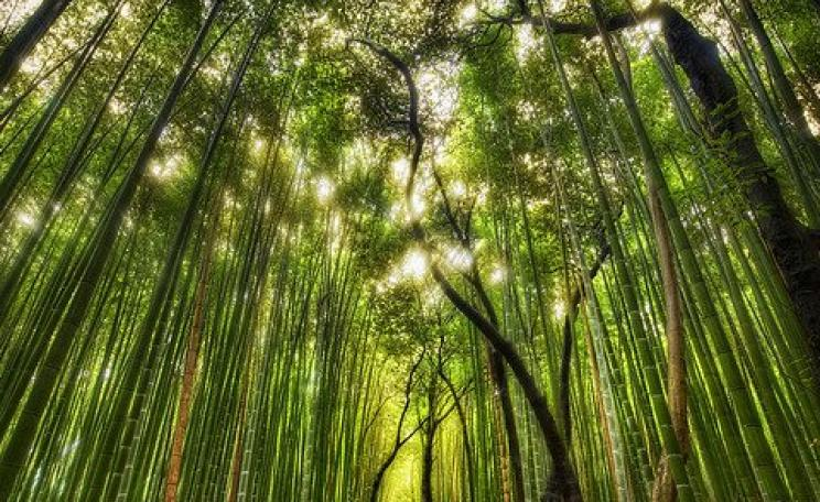 A forest of giant bamboo near Kyoto, Japan. Photo: Trey Ratcliff via Flickr.