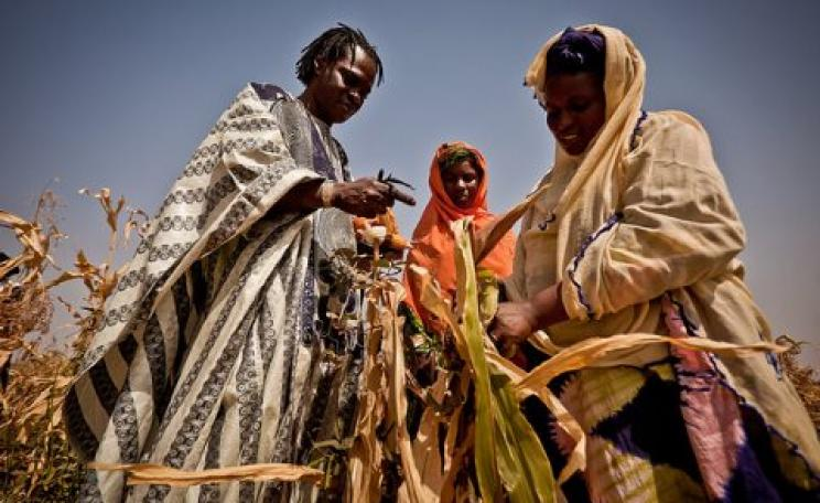Singer Baaba Maal inspects failed corn crops in Mauritania. The maize has gone dry and is inedible. Photo: Oxfam International.