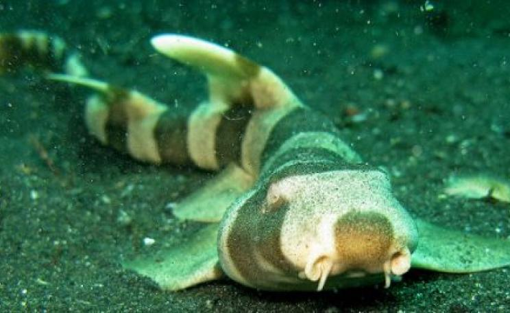 Bamboo Shark in Indonesia's Lembeh Straits. With high levels of CO2, the species' survival is reduced by 40%. Photo: Steve Childs via Flickr.