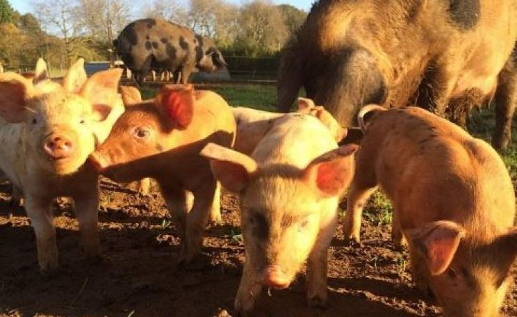 What we want: happy free range pigs on the Sandy Lane Organic Farm, Oxfordshire.
