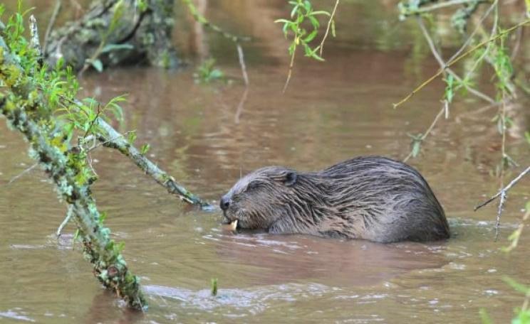 A beaver in the River Otter, Devon, feeds on an overhanging willow branch. Photo: David Land via Devon Wildlife Trust.