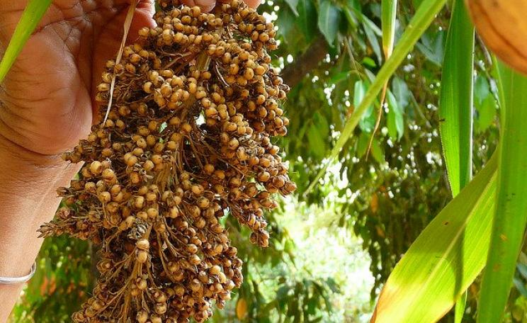 Sorghum, one of the crops that feeds Africa, is of little interest to profit-oriented corporate agriculture. Photo: Janki via Flickr (CC BY-NC-ND 2.0).