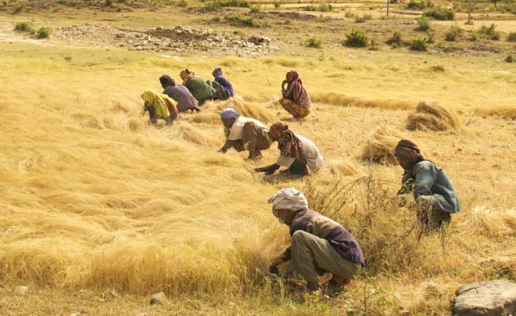 The work is hard, but the seed is free - for now! Men and women harvest the Ethiopian staple grain teff in a roadside field between Axum and Adwa in Northern Ethiopia. Photo: Alan via Flickr (CC BY 2.0).