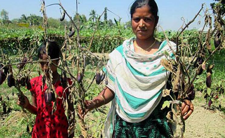What BBC / Panorama didn't want you to know: This year's GM Bt brinjal plants either died out prematurely or fruited insignificantly compared to the locally available varieties, bringing finacial ruin to their cultivators. Photo: New Age (Bangladesh).