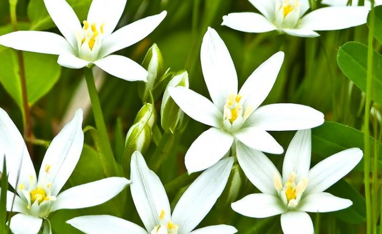 Star of Bethlehem flowers, photographed in Delaware Bay. Photo: Daniel Ashton via Flickr (CC BY-NC-SA).