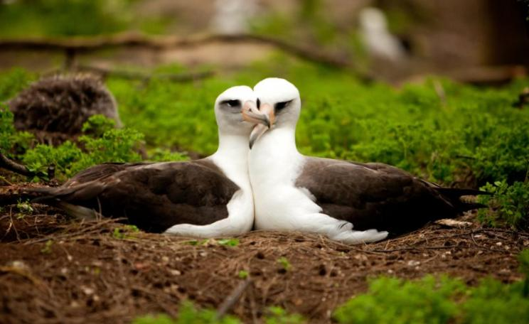 Too beautiful to die by plastic: Laysan Albatross mate for life, live 60 years or more, and show their soft, sensitive side by preening each other. Photo: kris krüg / midwayjourney.com via Flickr (CC BY-SA).