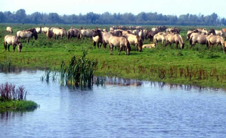 Wild ponies feeding at Oostvaardersplassen, Netherlands, where a huge floodplain nature reserve has been turned over to wilderness. Photo: KONIKpaarden via Flickr (CC BY).