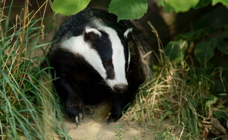 Badger at the British Wildlife Centre, Newchapel, Surrey. Photo: Peter Trimming via Flickr (CC BY).
