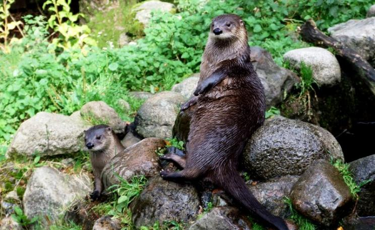 Otters waiting for fish at Loch Creran, West Highlands, Scotland. Photo: Jennie Rainsford via Flickr (CC BY-SA).
