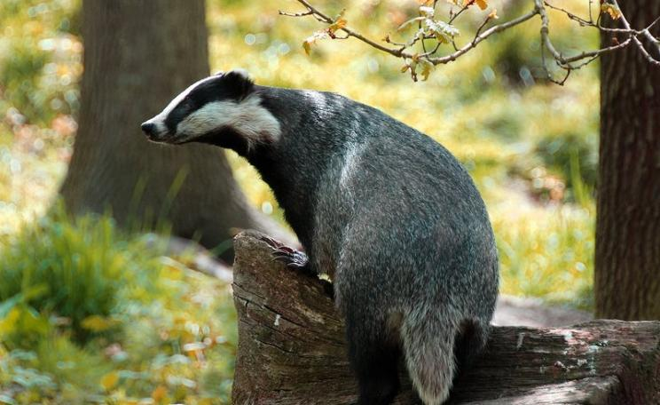 At least Canterbury's badgers will be safe, for now. Photo: Ian Blacker via Flickr (CC BY-ND).