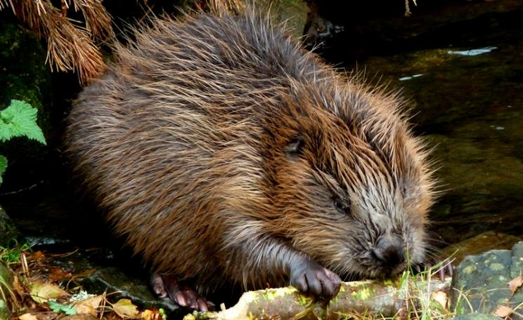 Beaver in the Highland Wildlife Park, Scotland. Photo: Dunnock_D via Flickr (CC BY-NC)