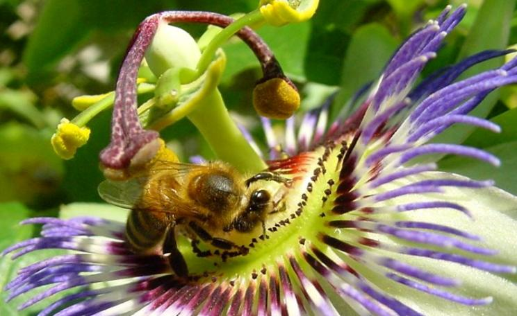 Forager bee pollinating a passion flower. Photo: Max Westby via Flickr (CC BY-NC-SA).
