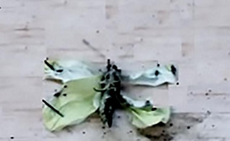 Cabbage white butterfly with deformed wings (pinned to an insect board) that was fed an experimental diet enriched with long chain omega-3 fatty acids, 48 hours after emergence. Photo: PLOS One.