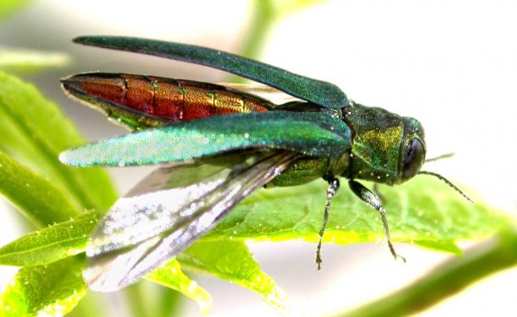 Emerald ash borer is a saproxylic beetle native to Asia which feeds on Ash. Photo: U.S. Department of Agriculture via Flickr (CC BY)