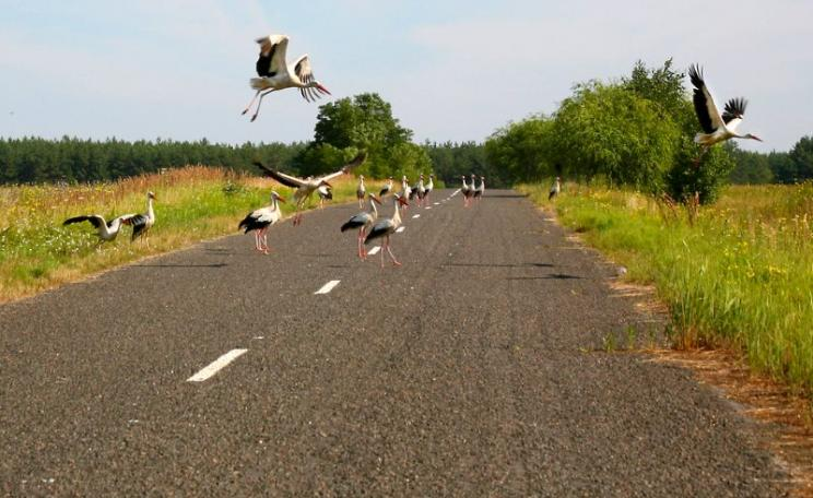 White storks on road near Chernobyl, Ukraine. Many parts of the Chernobyl region have low radioactivity levels and serve as refuges for plants and animals. But other areas are acutely radiotoxic. Birds tend to be especially susceptible to radiation impact