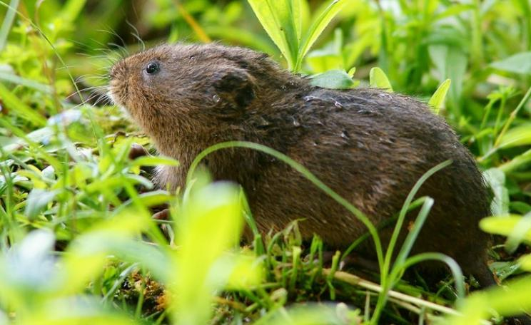 Water vole in Arundel, England. Photo: Peter Trimming via Flickr (CC BY).