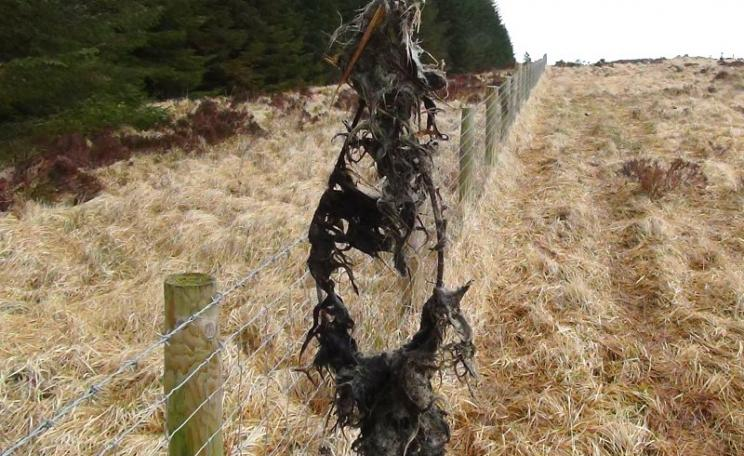 At the Cleggan Lodge Estate, 8th April 2016, a snare covered with hare fur. Photo: League Against Cruel Sports.