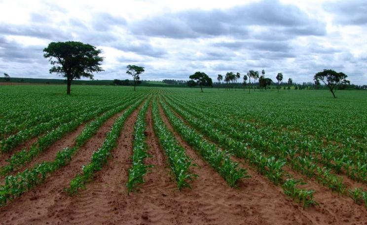 GM soy and corn are now a major export for Brazil, Argentina and other South American countries, as from this cornfield near Sao Paulo. But GMO agribusiness is having severe impacts on health and environment, and importers are increasingly demanding non-G
