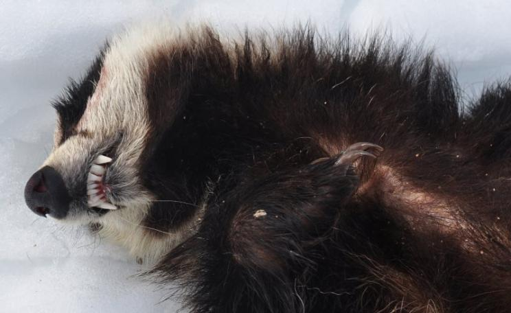 You think English badgers have it tough? Try France! Dead badger found on the Col de Planchamp, Haute Savoie, France. Photo: lechoucas via camptocamp.org (CC BY-SA).