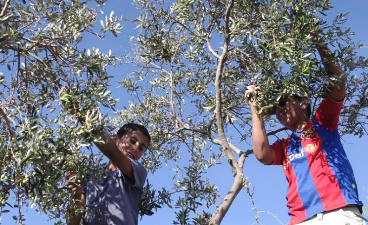 Olive harvest at Surif in the West Bank, Palestine. Photo: Palestine Solidarity Project via Flickr (CC BY-SA).