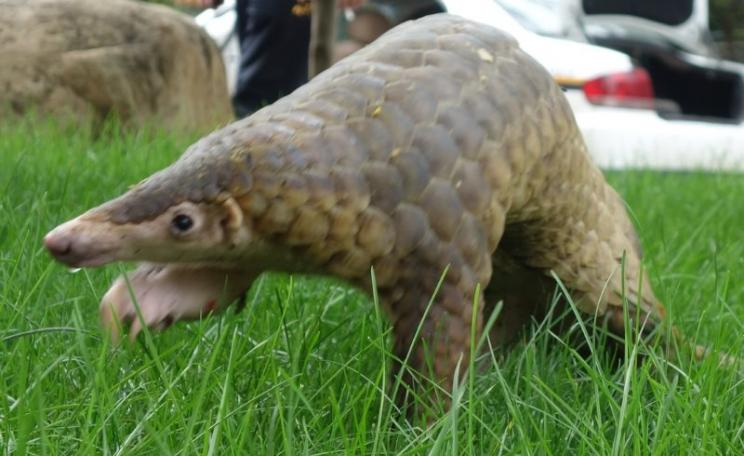 Malayan pangolins (M. javanica) are protected in the spirit of China's wildlife laws - but not in their letters. Photo: Zhaomin Zhou, Author provided.