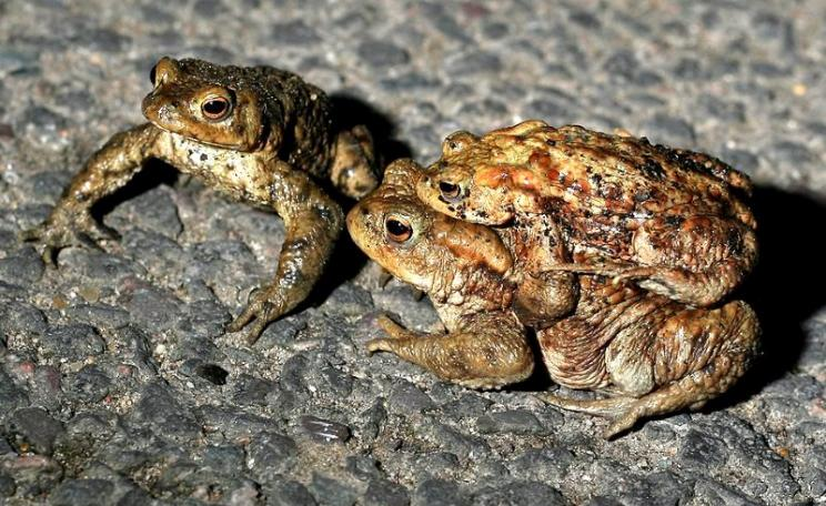 "A Common toad colony migrating across a road near Ipswich. ""We patrol the crossing, and collect and move them to their breeding ponds. This is a male in amplexus with a female, and another male alongside."" Photo: Dave via Flickr (CC BY-NC-SA)."