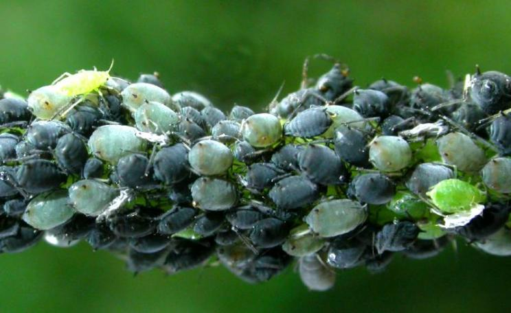 Gene drives could be used, for example, to attack fast-breeding pest species like aphids. But with what consequences on other species and wider ecosystems? Photo: Nigel Jones via Flickr (CC BY-NC-ND).