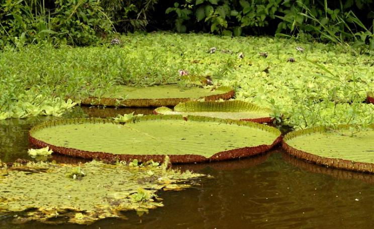 Victoria water lilies in Pucate Creek (Quebrada Pucate) off Rio Marañon, Peru. Photo: Mike LaBarbera via Flickr (CC BY-NC-ND).