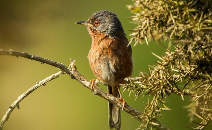 Dartford Warbler in the Thames Basin Heaths area at Chobham Common, Woking, Surrey, UK. Photo: Phil Fiddes via Flickr (CC BY).
