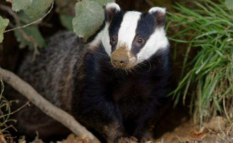 Honey, in her sett, is just one of the potential beneficiaries, both human and animal, of a breakthrough test for bovine TB.