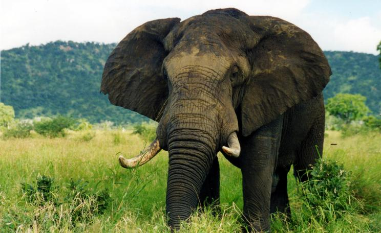 <p>Tens of thousands of wild elephants are being killed each year to meet the demand for ivory. (c) Caitlin, Flickr</p>