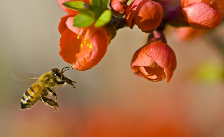 Certain pesticides have been found to kill or damage a wide range of pollinating insects, including honeybees. (c) Louise Docker