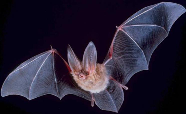 A big-eared Townsend bat heads out at night to search for food.