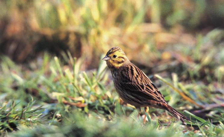 A Yellowhammer, a RSPB Red List species, is pictured at Hope Farm. (c) RSPB