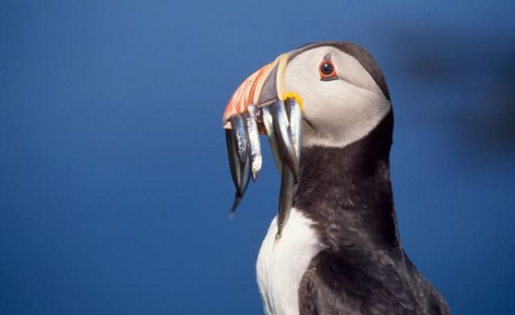 A puffin with a number of small sandeels held in its beak (c) Chris Gomersall, RSPB