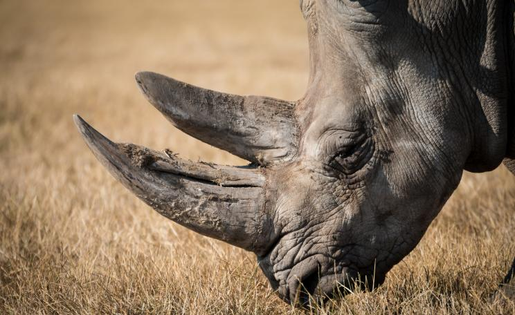 An endangered black rhino grazing on an open field (c) Lucas Alexander