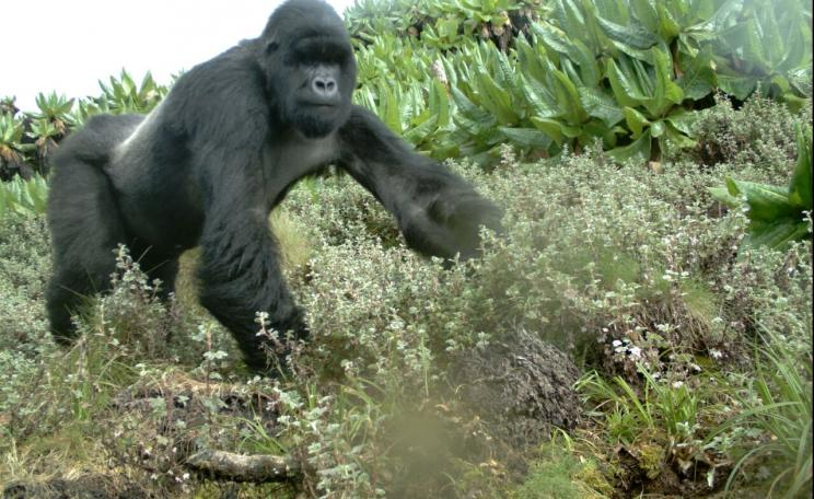 A critically endangered mountain gorilla captured by the Tropical Ecology Assessment and Monitoring (TEAM) Network (c) TEAM
