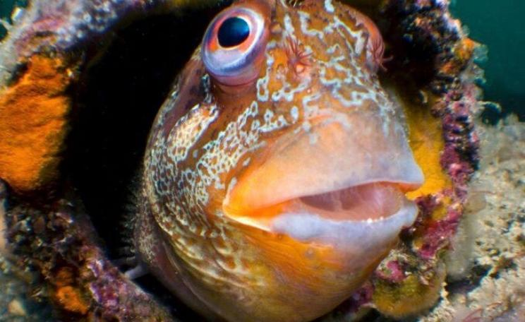 A Tompot Blenny. A new report by The Wildlife Trusts, 'The way back to Living Seas', is published today and will be presented to the Parliamentary Under Secretary of State, Dr Thérèse Coffey MP.