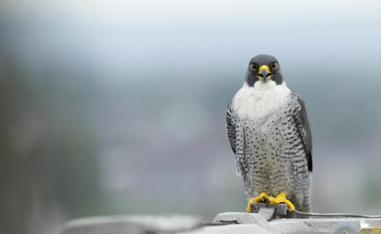 A peregrine falcon Falco peregrinus, perched on hotel roof in Manchester. One of 40 birds of prey which were confirmed illegally shot. (c) RSPB